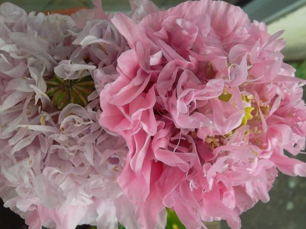 Pavots à fleur triple de pivoine : 2 ce matin - 17/07/13