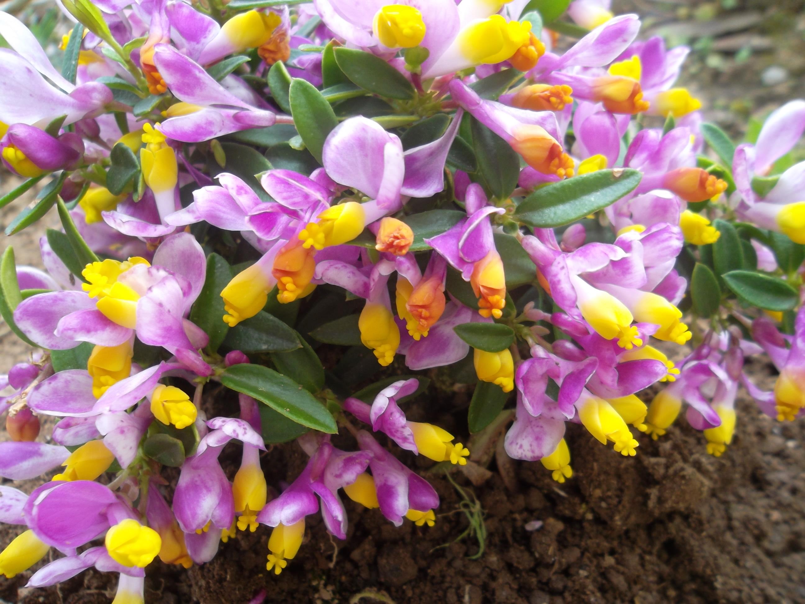 polygala plante vivace fleurs rose et jaune odorante